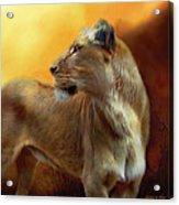 Lioness Is Near Acrylic Print