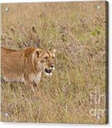 Lioness, Kenya Acrylic Print