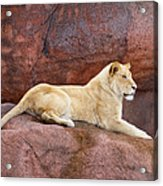 Lioness On A Red Rock Acrylic Print
