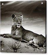 Lioness On Desert Dune Acrylic Print