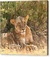 Lioness  Panthera Leo Resting Acrylic Print