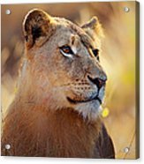 Lioness Portrait Lying In Grass Acrylic Print