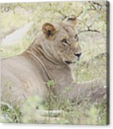 Lioness Relaxing Acrylic Print