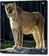 Lioness Acrylic Print by Frozen in Time Fine Art Photography