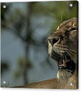 Lioness Voicing Opinion Acrylic Print