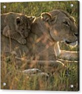 Lioness With Cub Acrylic Print
