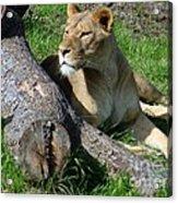 Lioness2 Acrylic Print