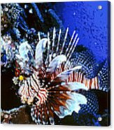 Lionfish 4 Acrylic Print