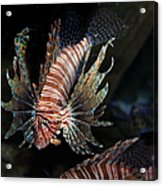 Lionfish 5d24143 Acrylic Print by Wingsdomain Art and Photography