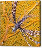 Lionfish Against Yellow Fan Coral Acrylic Print
