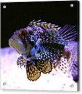 Lionfish Dendriochrius Barberi Acrylic Print by Karon Melillo DeVega