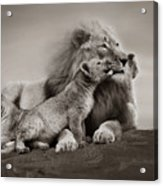 Lions In Freedom Acrylic Print