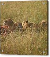 lions in the Maasai Mara park in kenya Acrylic Print
