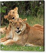 Lions Of The Masai Mara  Acrylic Print