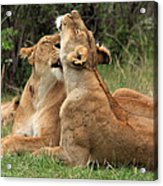 Tenderness In The Wild Acrylic Print