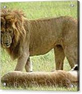 Lions On The Masai Mara Acrylic Print