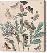Liparidae - Notodonitdae Acrylic Print