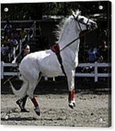 Lipizzaner Stallion Jumping Acrylic Print