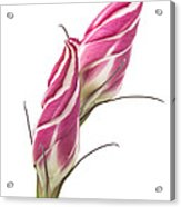 Lisianthus Love Acrylic Print