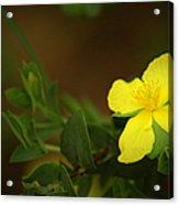 Lit Flower Acrylic Print