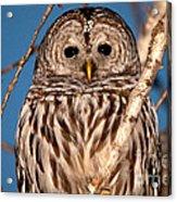 Lit Up Owl Acrylic Print