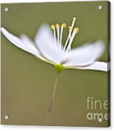 Little Arctic Starflower Acrylic Print