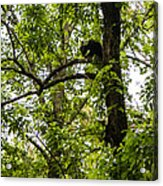 Little Bear Cub In Tree Cades Cove 2 Acrylic Print