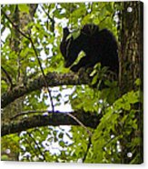 Little Bear Cub In Tree Cades Cove Acrylic Print