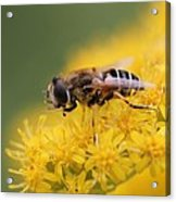 Little Bee Acrylic Print