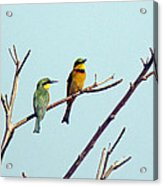 Little Bee-eaters Acrylic Print