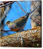 Little Birdie 2 Acrylic Print