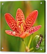Little Blackberry Lilly Acrylic Print