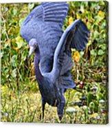 Little Blue Heron Blue Acrylic Print