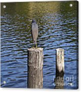 Little Blue Heron - Egretta Caerulea  Acrylic Print