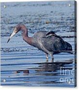 Little Blue Heron Egretta Caerulea Acrylic Print