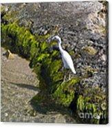 Little Blue Heron - Egretta Caerulea - White Morph Acrylic Print