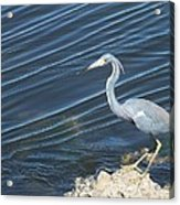 Little Blue Heron II Acrylic Print by Anna Villarreal Garbis