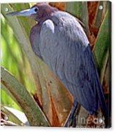 Little Blue Heron Male In Breeding Acrylic Print