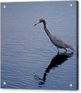 Little Blue Heron On The Hunt Acrylic Print