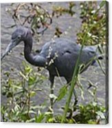 Little Blue Heron - Waiting For Prey Acrylic Print
