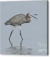 Little Blue Heron With Fish Acrylic Print