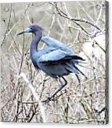 Little Blue In Rookery Louisiana Acrylic Print