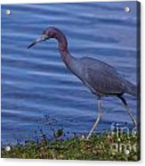 Little Blue Strut Acrylic Print