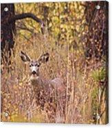 Little Buck Acrylic Print