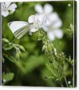 Little Butterfly Acrylic Print