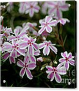 Little Candy Stripers Acrylic Print