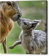 Little Cavy With Mother Acrylic Print