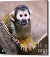 Little Cutie Acrylic Print by Shannon Rogers