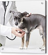 Little Dog At The Vet Acrylic Print