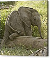 Little Elephant Big Log Acrylic Print